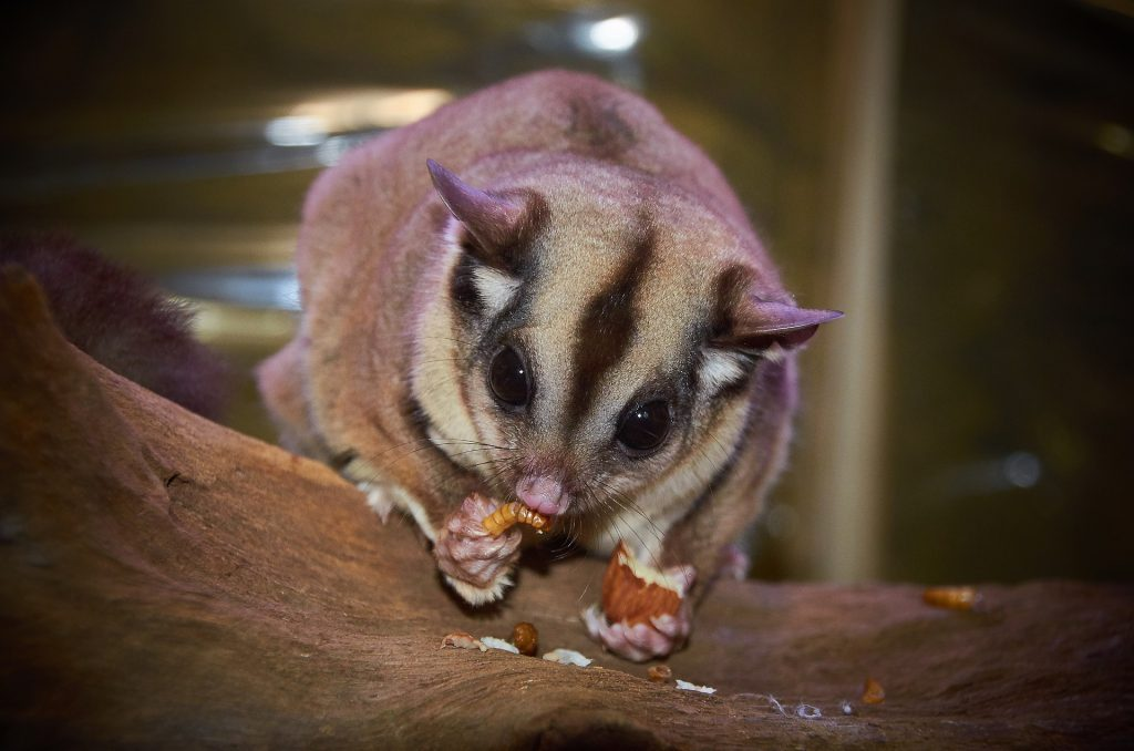 sugar glider best house pet
