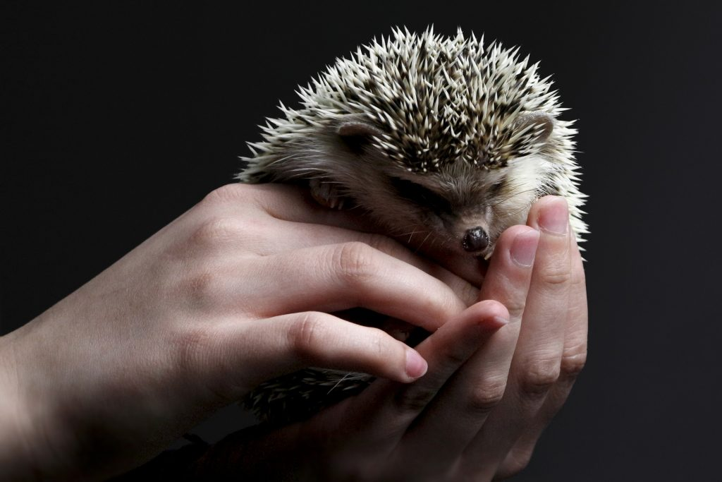 hedgehogs best house pet